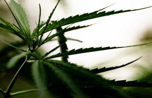 Cannabis marijuana leaf closeup