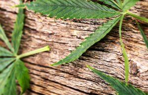 cannabis leafs on wood